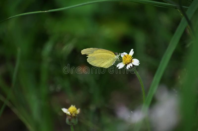 Yellow Grass butterfly perched on a Shaggy Soldier white and yellow wildflower in Thailand stock images