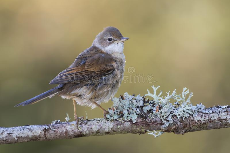 The common white throat Sylvia communis perched on a twig with lichens on a uniform background. The common white throat Sylvia communis perched on a twig with stock photo
