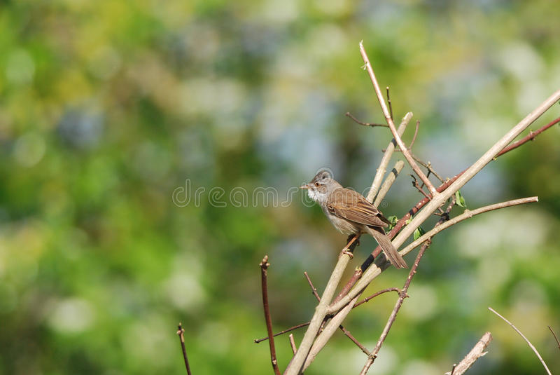 Common Whitethroat. On a branch, colorful background stock photos