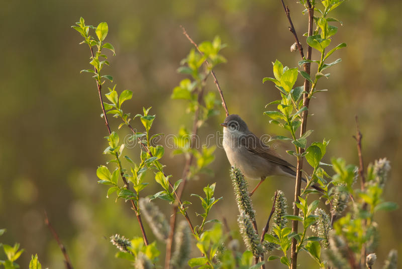 Common Whitethroat and catkins. Common Whitethroat on a branch full of catkins royalty free stock images