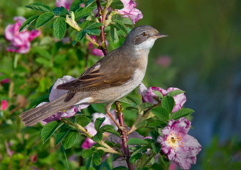 Common whitethroat male perched on a blossoming bush with a lot of flowers royalty free stock photography