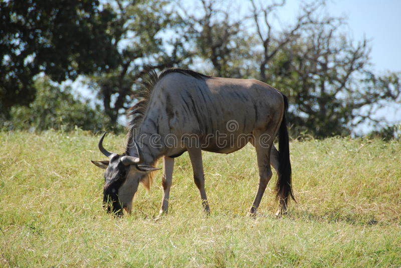 Common wildebeest (connochaetes taurinus)