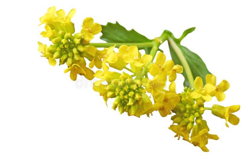 Common Winter Cress. (Yellow Rocket) Barbarea vulgaris Mustard (Brassicaceae) wildflowers stock image