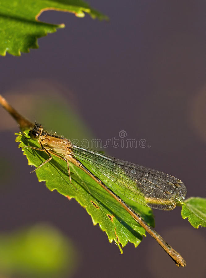 Common Winter Damselfly royalty free stock images