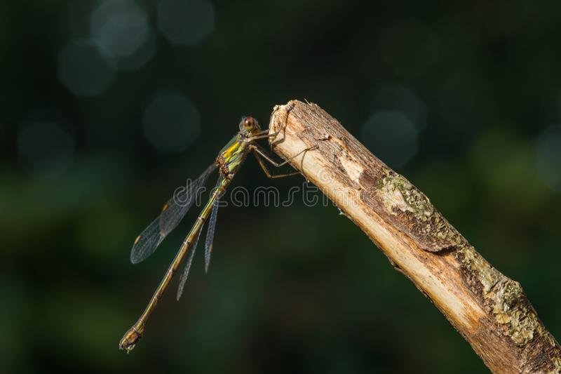 Common winter damselfly - Sympecma fusca royalty free stock images