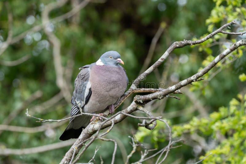 Common Wood Pigeon (Columba palumbus stock photos