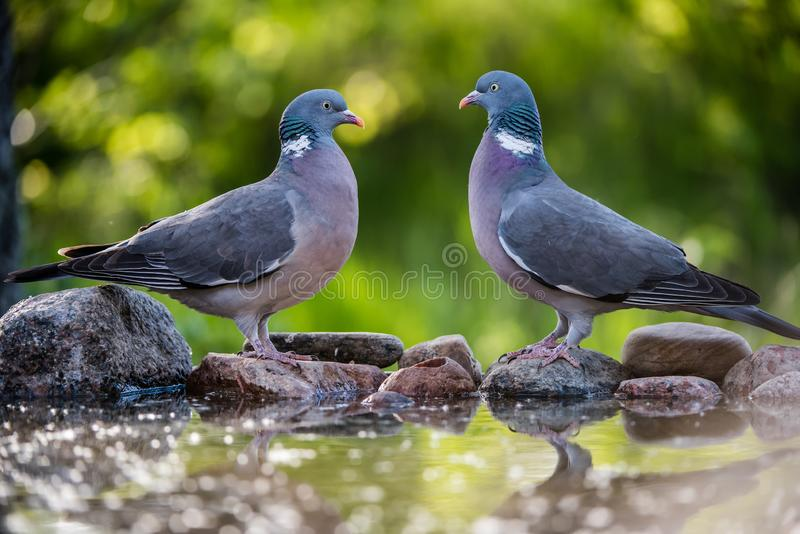 Common Wood Pigeons meeting at the waterhole royalty free stock photos