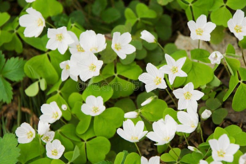 Download Common wood sorrel stock photo. Image of herba, sorrel - 14295444