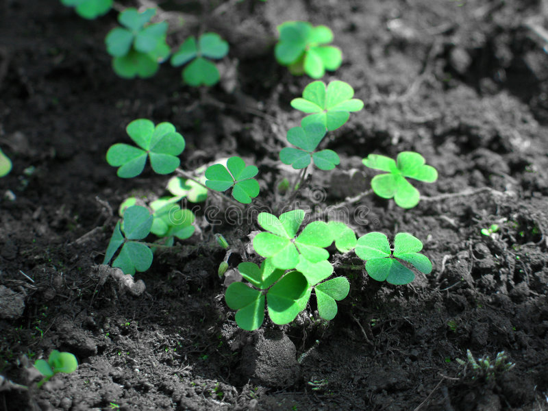 Download Common Wood Sorrel Royalty Free Stock Photos - Image: 511988