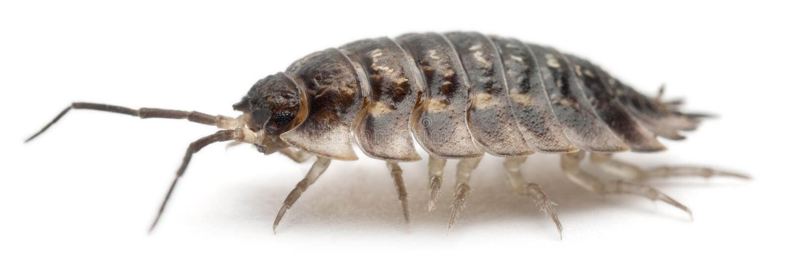 Common woodlouse, Oniscus asellus