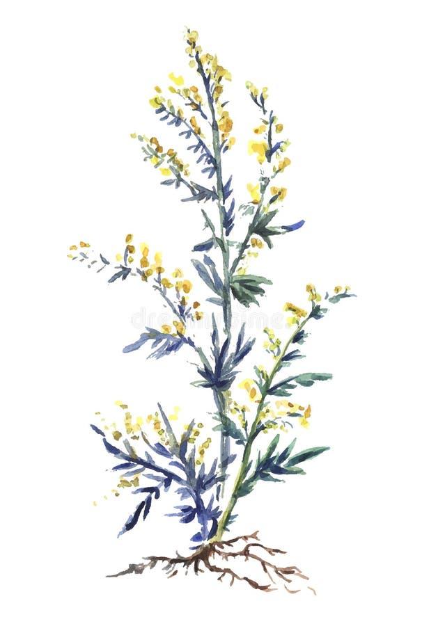Mugwort Or Common Wormwood Artemisia Vulgaris Medicinal