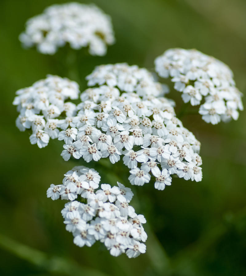 Common yarrow royalty free stock images