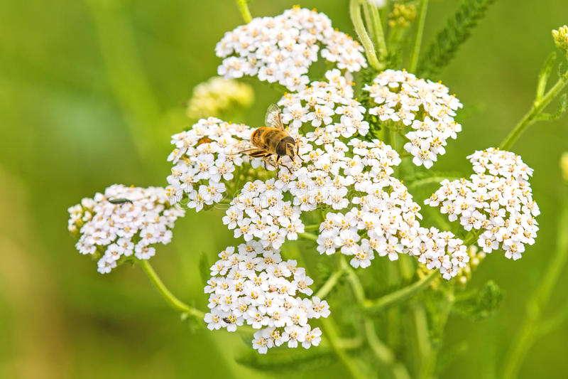 Common yarrow, medicinal herb stock image