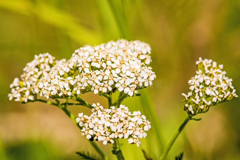 Common yarrow, medicinal herb stock images