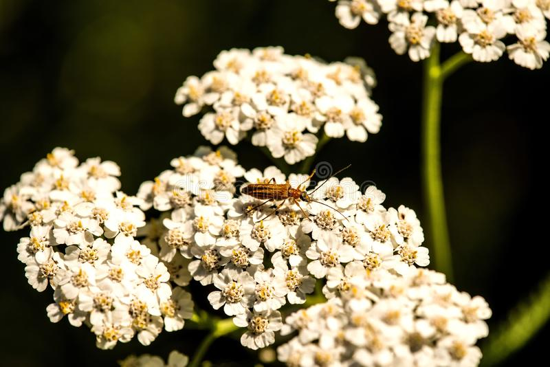 Common yarrow, medicinal herb, flower stock photo