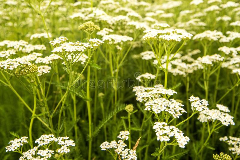 Common yarrow, medicinal herb in a meadow royalty free stock image