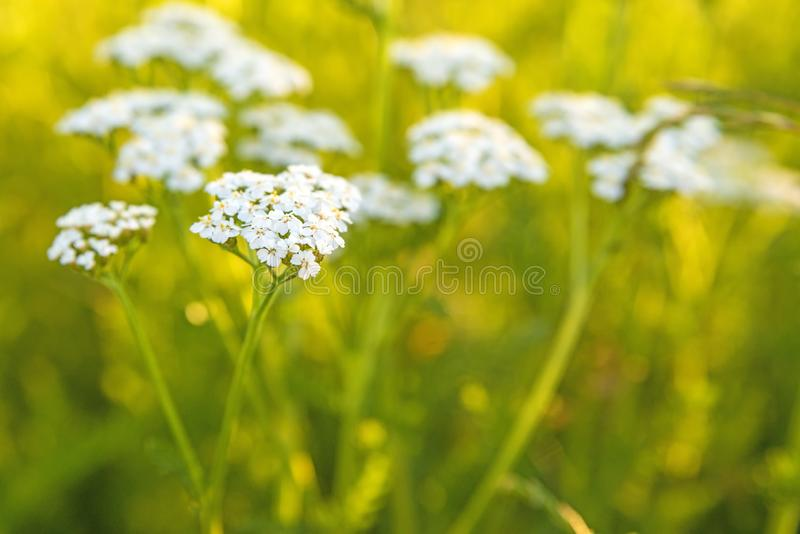 Common yarrow, medicinal herb in a meadow royalty free stock photo