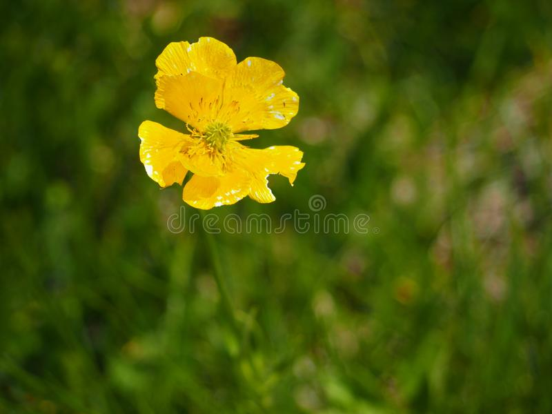 Common yellow country flower. With green lawn to make out of focus background royalty free stock photos