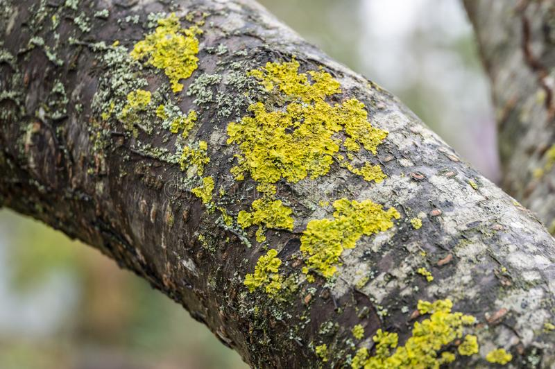 Common yellow lichen Xanthoria parietina on the grey bark of tree trunk on blurred green background. Selective focus. Nature concept for design stock photo