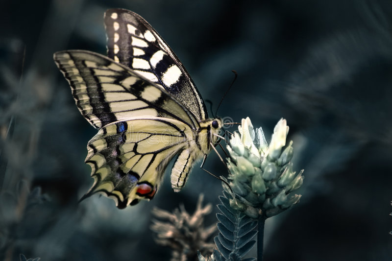 Common Yellow Swallowtail royalty free stock images