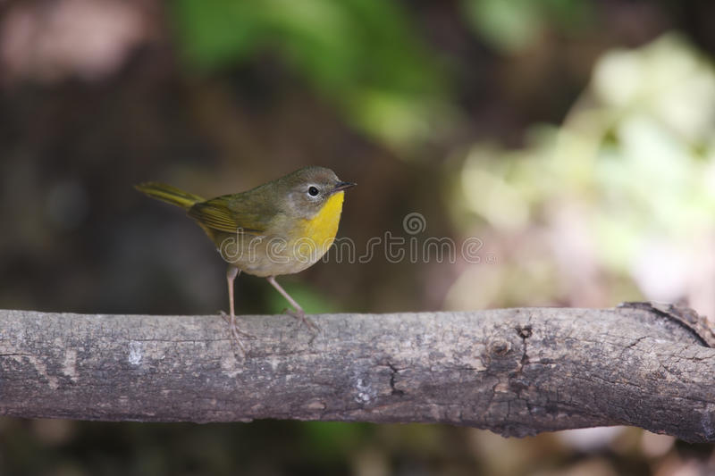 Common Yellowthroat (Geothlypis trichas trichas) royalty free stock image