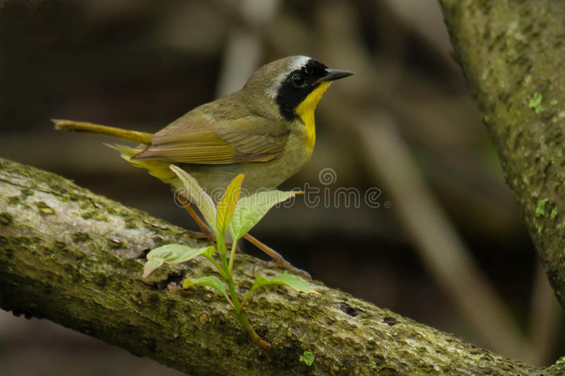 Common Yellowthroat. Male Common Yellowthroat perched on a branch stock photo