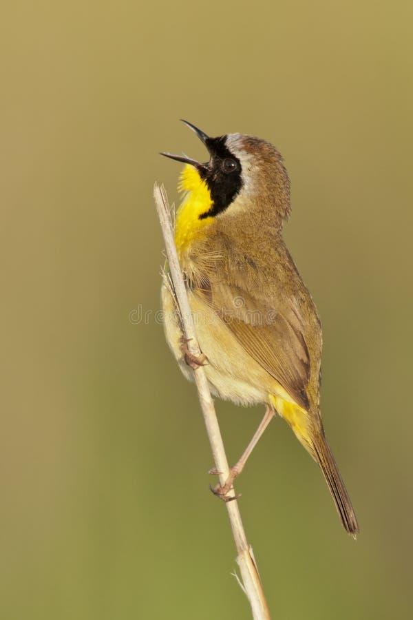 Common Yellowthroat Singing royalty free stock photo