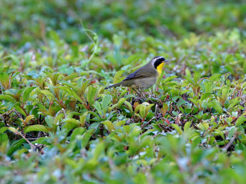 Common Yellowthroat Warbler. Perched on a hedge stock photo