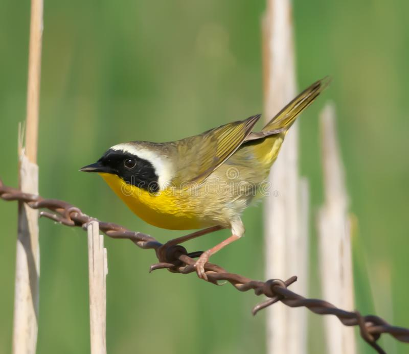 Common Yellowthroat Warbler on the wire stock image