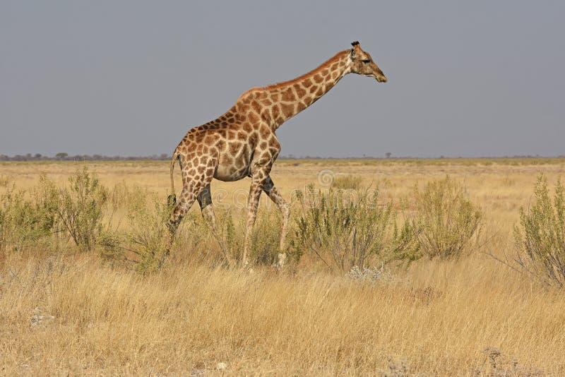 Common zebras Equus quagga in the Etosha National Park. A common zebra is trekking through the plain of the Etosha National Park in Namibia stock image