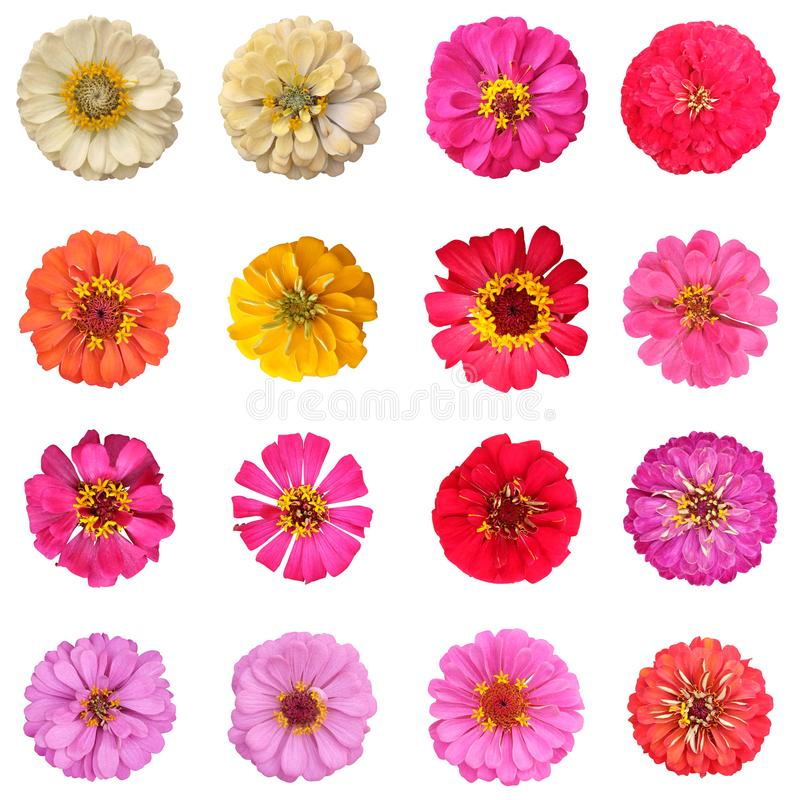 Free Common Zinnia Collection On White Background Stock Image - 119640181