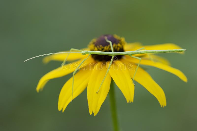 Commond Walking Stick on a Black-eyed Susan royalty free stock photography
