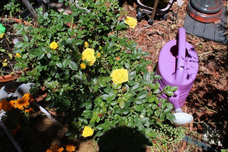 Damask rose Magnoliophyta light yellow stock image