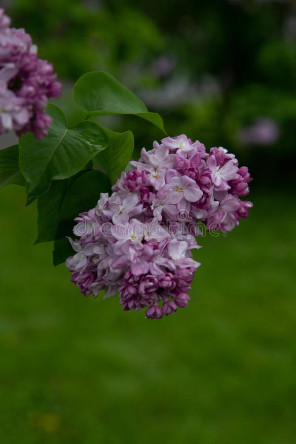 Free Commun  Ommon Lilac.Syringa Vulgaris.`Katherine Havemeyer` Oleaceae Origine Horticole Garden Stock Photography - 150467492