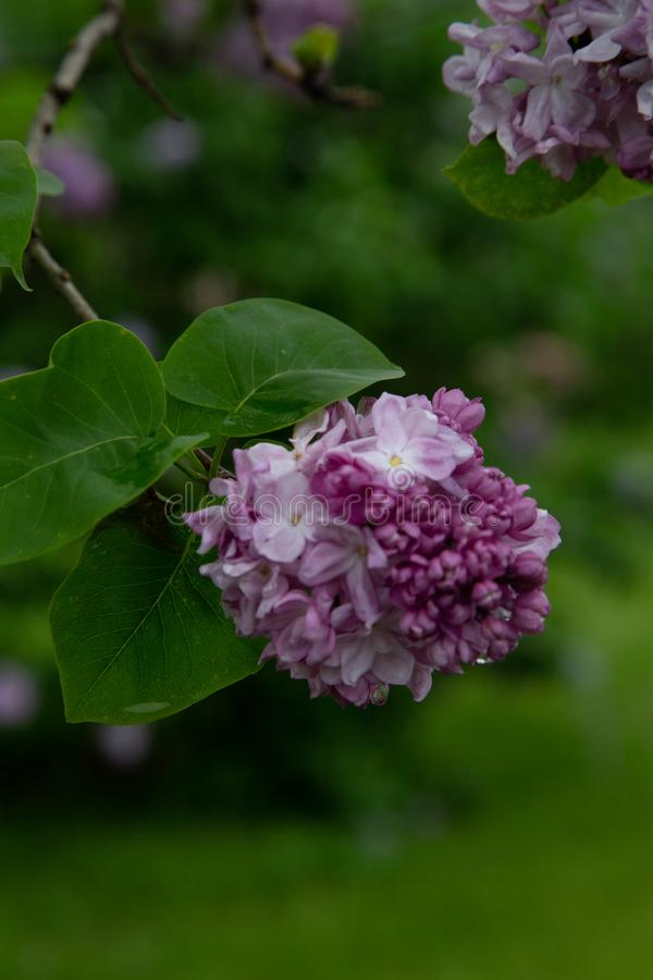 Free CommunCommon Lilac Syringa Vulgaris `Katherine Havemeyer` Oleaceae Origine Horticole.Garden Stock Photos - 150467493