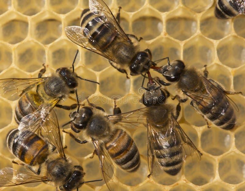 Communicatie bijen stock foto's