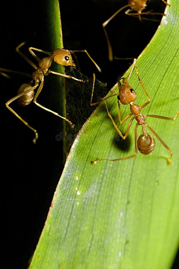 Communicating Ants royalty free stock photos