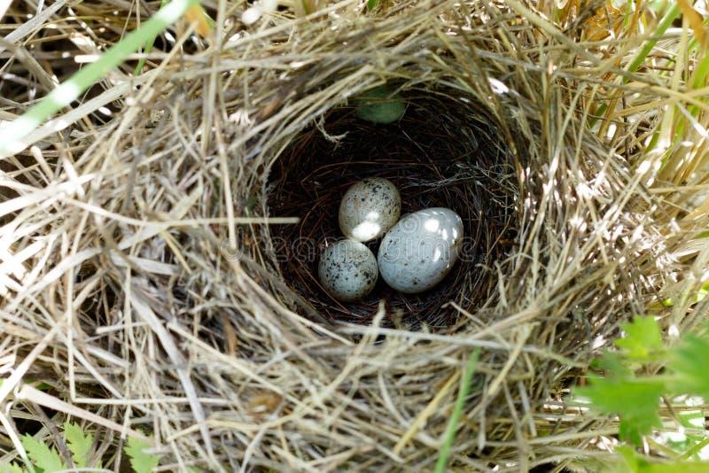 Communis Sylvia Het nest van Whitethroat in aard Gemeenschappelijk C royalty-vrije stock afbeeldingen