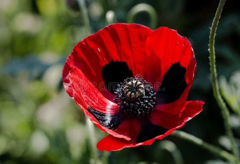 Commutatum del papavero - papavero di Ladybird fotografia stock