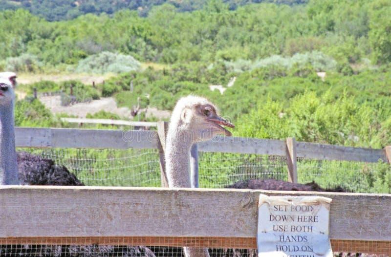 Como alimentar uma avestruz fotos de stock