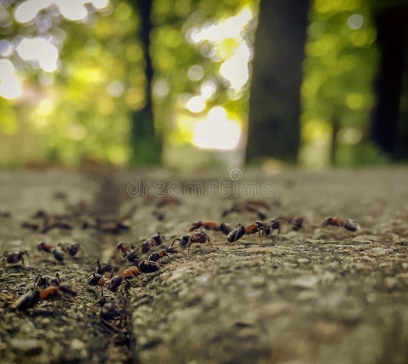 Como as formigas vão marchar imagens de stock royalty free