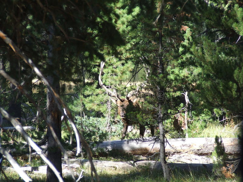 Como Elk royalty free stock images
