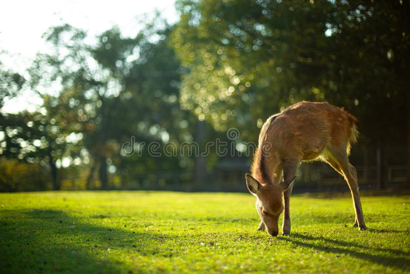 Como os cervos fotografia de stock