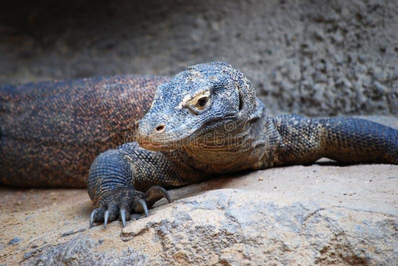 Comodo dragon royalty free stock photography