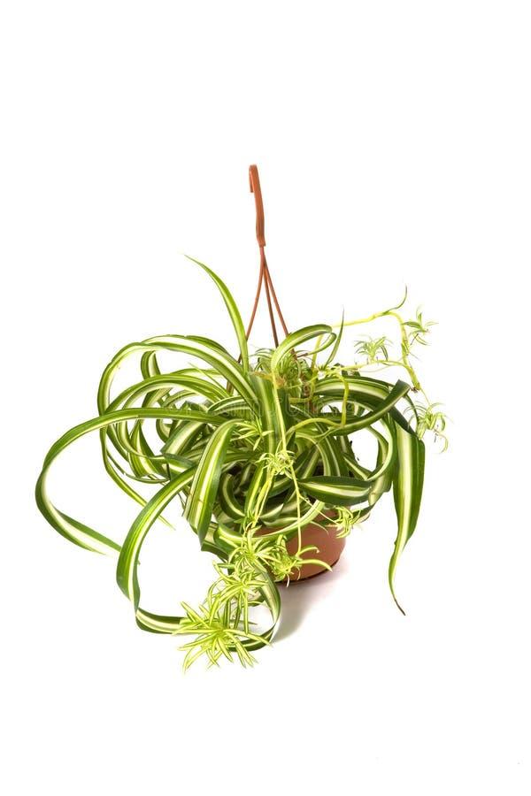 Comosum de Chlorophytum Bonnie imagem de stock royalty free