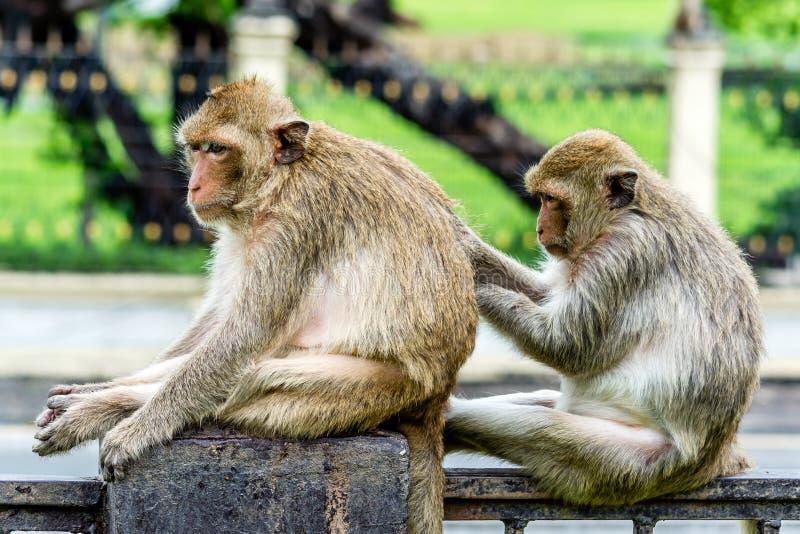 Compétence sociale de singe, Lopburi Thaïlande photo stock