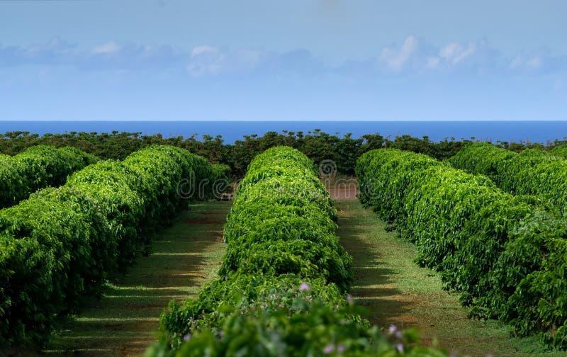 Compañía cafetera Kauai arabica bushes fotos de archivo