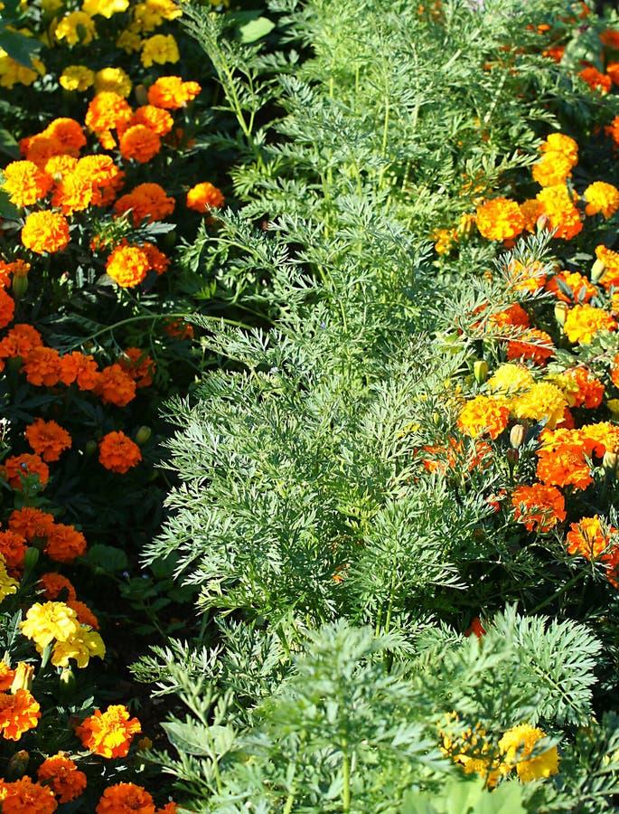 Compañero que planta zanahorias y marigoilds. fotografía de archivo libre de regalías
