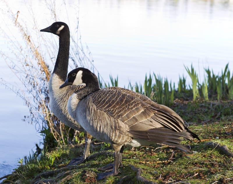 Compañeros canadienses de los gansos imágenes de archivo libres de regalías