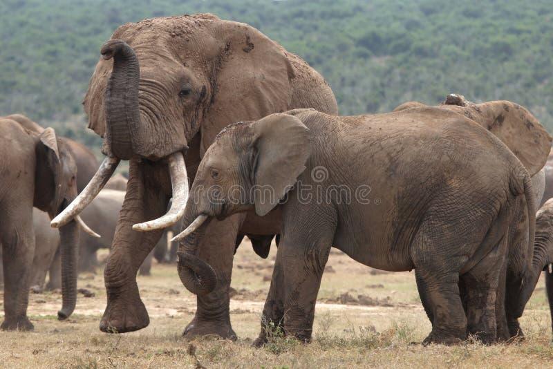 Compañeros del elefante africano fotos de archivo
